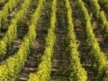 French winemakers demand action on 'incurable' grape disease devastating vines